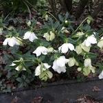 Helleborus orientalis blanc (2)