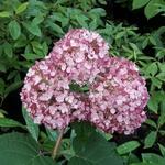 Hydrangea arborescens Sweet Annabelle (3)