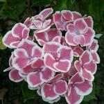 Hydrangea macrophylla Bavaria (2)