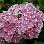 Hydrangea macrophylla Frau Katsuko (1)