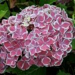 Hydrangea macrophylla Frau Katsuko (3)