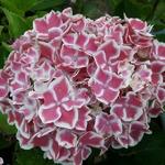 Hydrangea macrophylla Frau Katsuko (2)