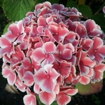 Hydrangea macrophylla Frau Noriko (1)