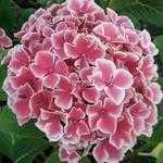 Hydrangea macrophylla Frau Noriko (7)