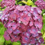 Hydrangea macrophylla Holehird Purple (1)