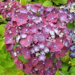Hydrangea macrophylla Holehird Purple (2)