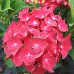 Hydrangea macrophylla Hot Red (1)