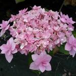 Hydrangea macrophylla Jomari