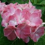 Hydrangea macrophylla La Vie en Rose (2)