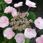 Hydrangea macrophylla Mucke