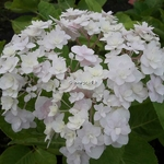 Hydrangea macrophylla Peace (1)