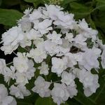 Hydrangea macrophylla Peace (2)