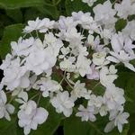 Hydrangea macrophylla Peace (3)