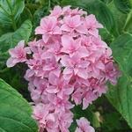 Hydrangea macrophylla Perfection