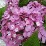 Hydrangea macrophylla Telenn (1)