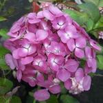 Hydrangea macrophylla Telenn (2)