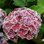 Hydrangea macrophylla Tivoli (1)