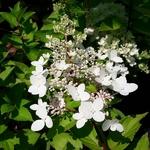 Hydrangea paniculata Angels Blush (1)