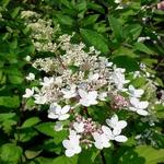 Hydrangea paniculata Angel's Blush (3)