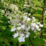 Hydrangea paniculata Angels Blush (2)