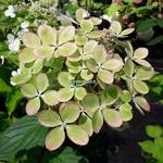 Hydrangea paniculata Pastel Green