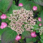Hydrangea serrata Santiago (3)