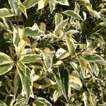 Ligustrum japonicum Arlequin (1)