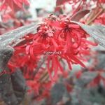 Loropetalum chinense rubrum Ever Red (1)
