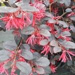 Loropetalum chinense rubrum Ever Red