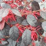 Loropetalum chinense rubrum Ever Red (2)
