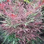 Nandina domestica Colorscape