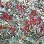 Osmanthus heterophyllus Purpureus (2)