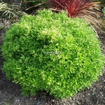 Pittosporum tenuifolium Golf Ball