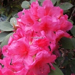 Rhododendron Anna Rose Whitney (6)