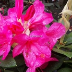 Rhododendron Anna Rose Whitney (2)