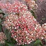 Viburnum cinnamomifolium (1)