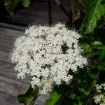 Viburnum dilatatum Erié (2)