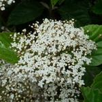 Viburnum japonicum (2)