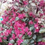 Loropetalum chinense rubrum Rouge de la Majorie (2)