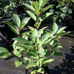 Hydrangea paniculata Early Harry (1)