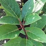 Hydrangea paniculata Polestar (2)