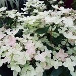 Hydrangea paniculata Polestar (3)