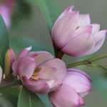 Magnolia Fairy Blush