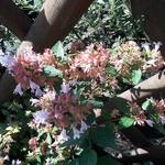 Abelia Raspberry Profusion (3)