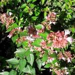 Abelia Raspberry Profusion (2)