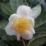 Camellia sinensis Variegata (2)