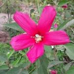 Hibiscus palustris Rubra (2)