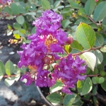 Lagerstroemia indica Pink All the Best (1)