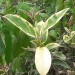 Ligustrum japonicum Arlequin