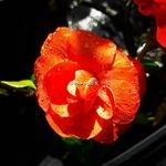 Chaenomeles Orange Storm (2)